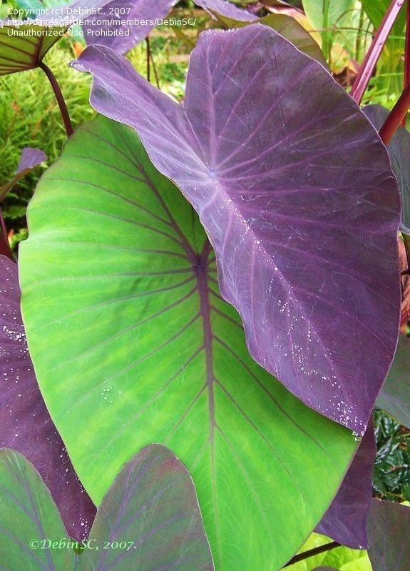 Elephant Ear Taro Black Magic Colocasia Esculenta Plants Tropical Garden Elephant Ears