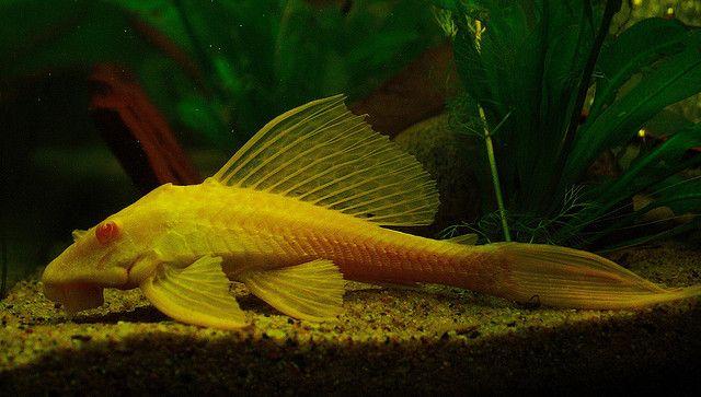 Albino Marble Sailfin Pleco Cichlid Aquarium Plenty Of Fish Freshwater Fish