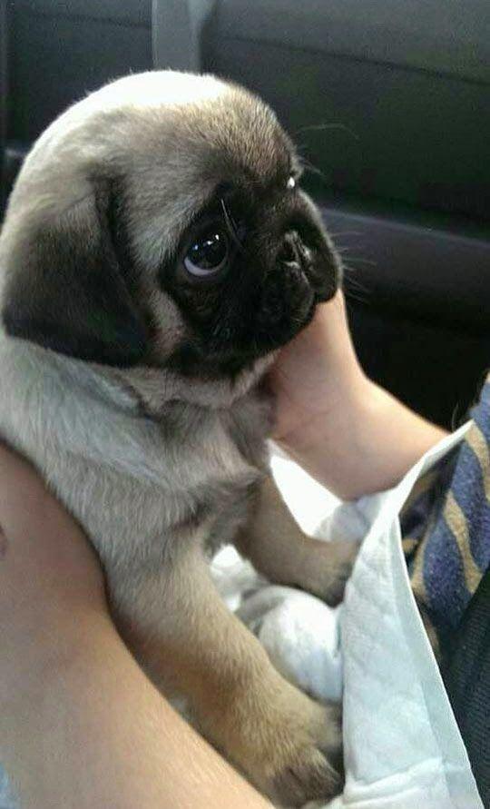 Pug Carlino Perro Pug Bebes Animales Bebe Bonitos Pug Bebes