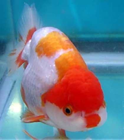 Ranchu Nice Colour Aquarium Fish Beautiful Fish Goldfish