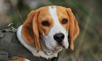 Dog Breeds Doggy Wiki Dog Breeds Most Beautiful Dog Breeds