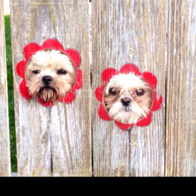 Peep holes cut out of the fence for the doggies to check out the neighborhood......painted flower petals optional:)