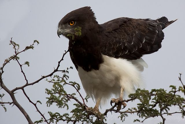 Black-Chested Snake-Eagle ( Circaetus pectoralis)