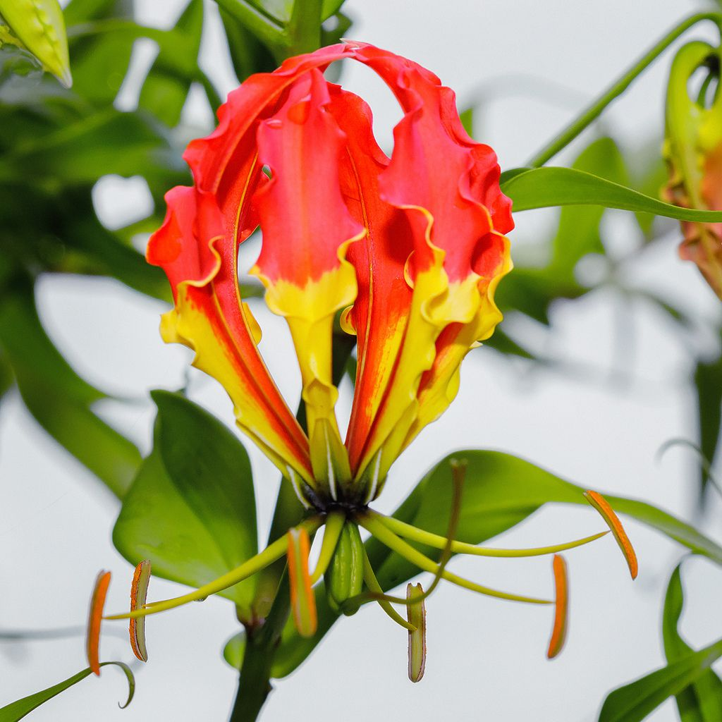 Flame Lily (Gloriosa superba) national flower of