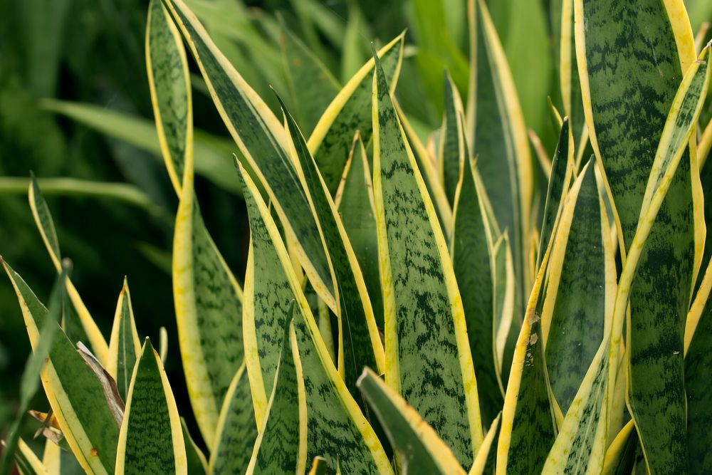 Snake plants (Sanseveria)may very well be some of the easiest plants to grow in the home. ...