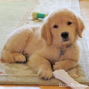 Golden Retrievers Puppy Goldenretrievermix Goldenretrieverclub