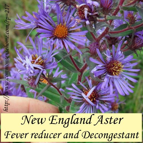 New England Aster Weekly Weeder 12 Herbal Plants Medicinal Plants Healing Plants