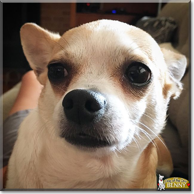 Benny The Chihuahua Mix The Dog Of The Day Chihuahua Mix Chihuahua Dogs
