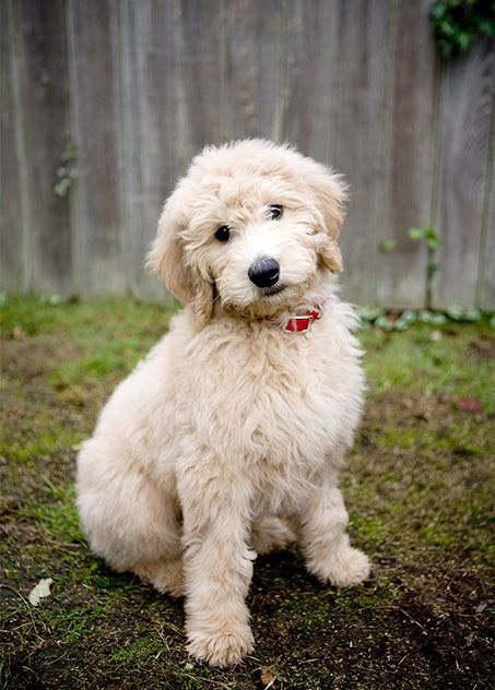 Goldendoodle Dog Breed Information Pictures Characteristics