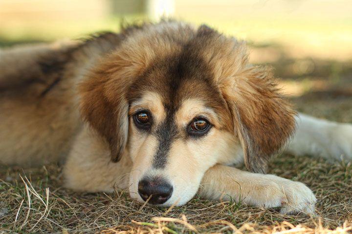 Husky St Bernard Mix Puppies 6c5bddc9673b6305945c92fdeac79a ...