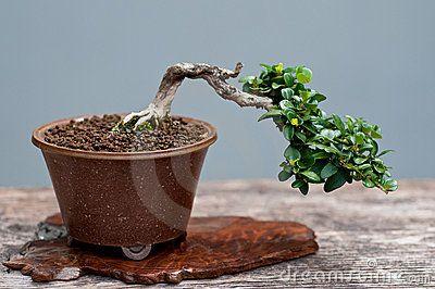 Árvore pequena dos bonsais