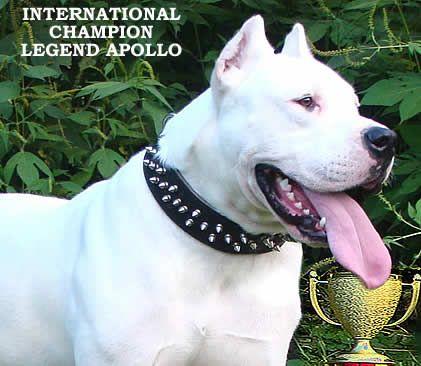 The Dogo Puppies Pet Parent Animals