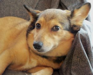 Adopt Precious On Adoptable Real Good Dogs Dogs Corgi Dog Corgi