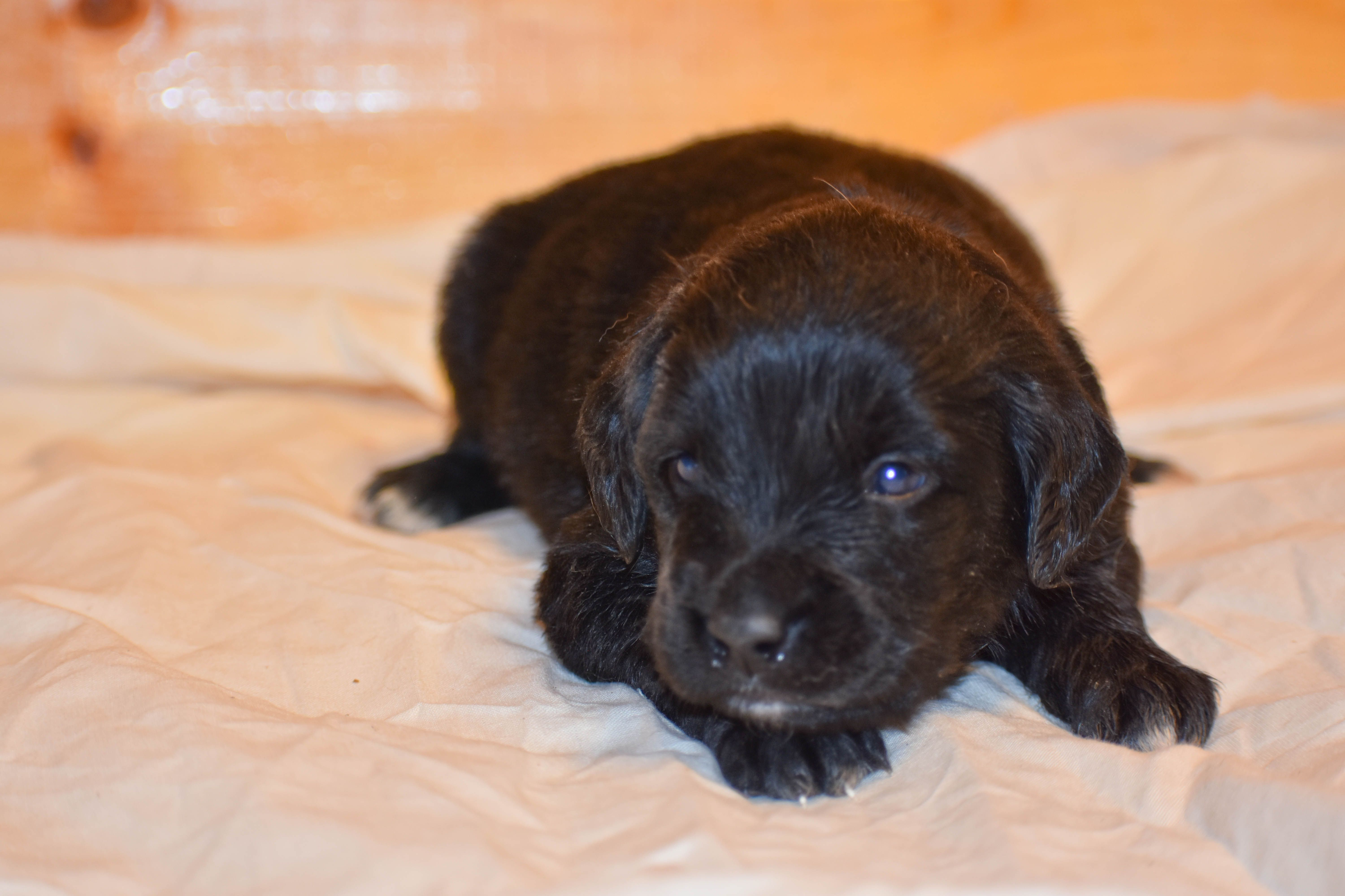 Hermoine A Female Golden Mountain Dog Puppy For Sale In Illinois Find Cute Golden Mountain Dog Puppies And With Images Dogs And Puppies Golden Mountain Dog Dog Breeder