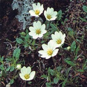 perenn vita blommor