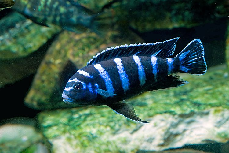 Pseudotropheous demasoni 4 mbuna cichlid non for African freshwater fish