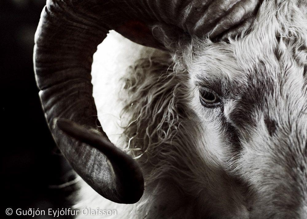 The Ram by  Guðjón Ólafsson    Flickr - Photo Sharing!