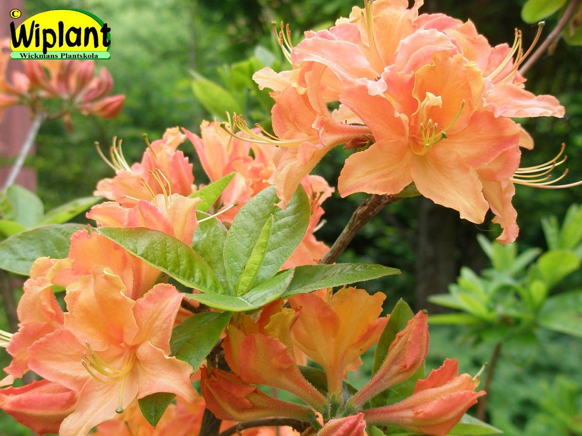 Rhododendron L. 'Mandarin Lights', Northern Light atzalea.  Orangea blommor med  läcker doft. Förädling fr. Minnesota. Höjd: 1 m.