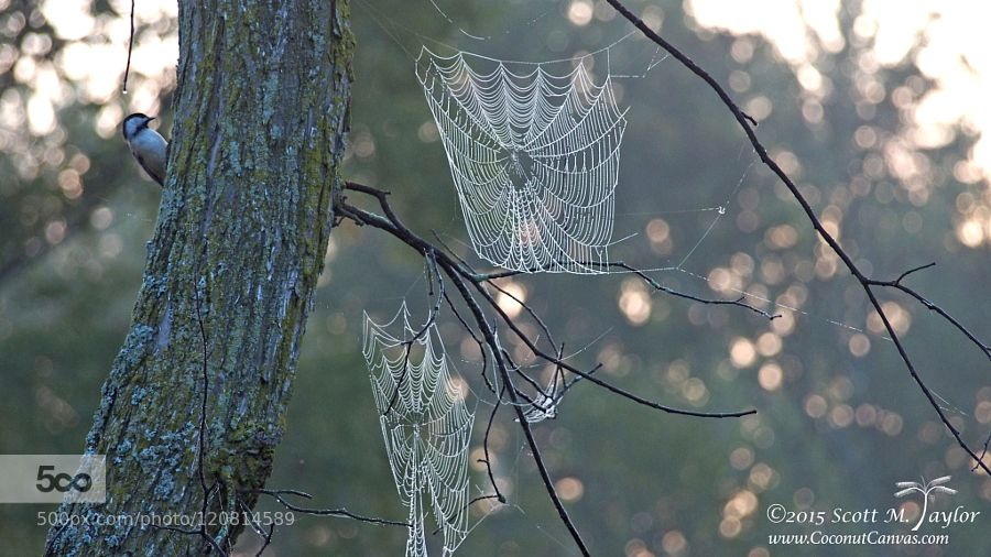 Webs by staylorphd #nature