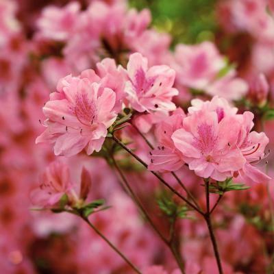 Cottage Hill Nursery 3 Gal Azalea Hampton Beauty Flowering Shrub With Pink Flowers In 2020 Flowering Shrubs Hybrid Tea Roses Azaleas Landscaping