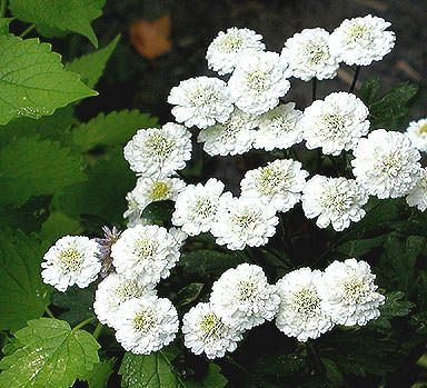 Chrysanthemum Parthenium Ball S Ultra Double Feverfew Plant Feverfew White Gardens