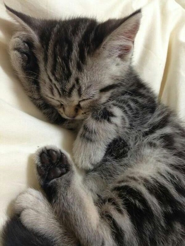 40 Pictures Of Cute Silver Tabby Kittens Sleeping Kitten Cute