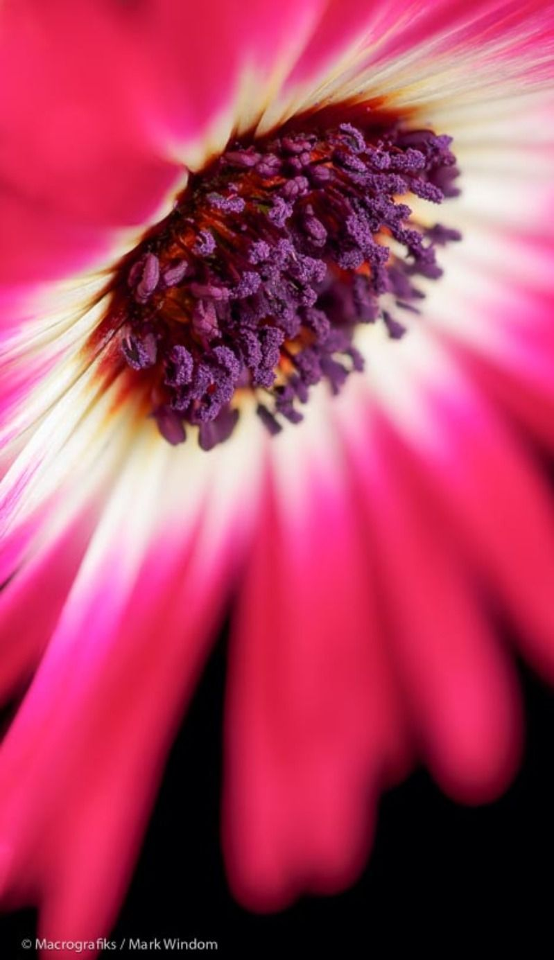 Macro image of a Mesembryanthemum blossom; native to South
