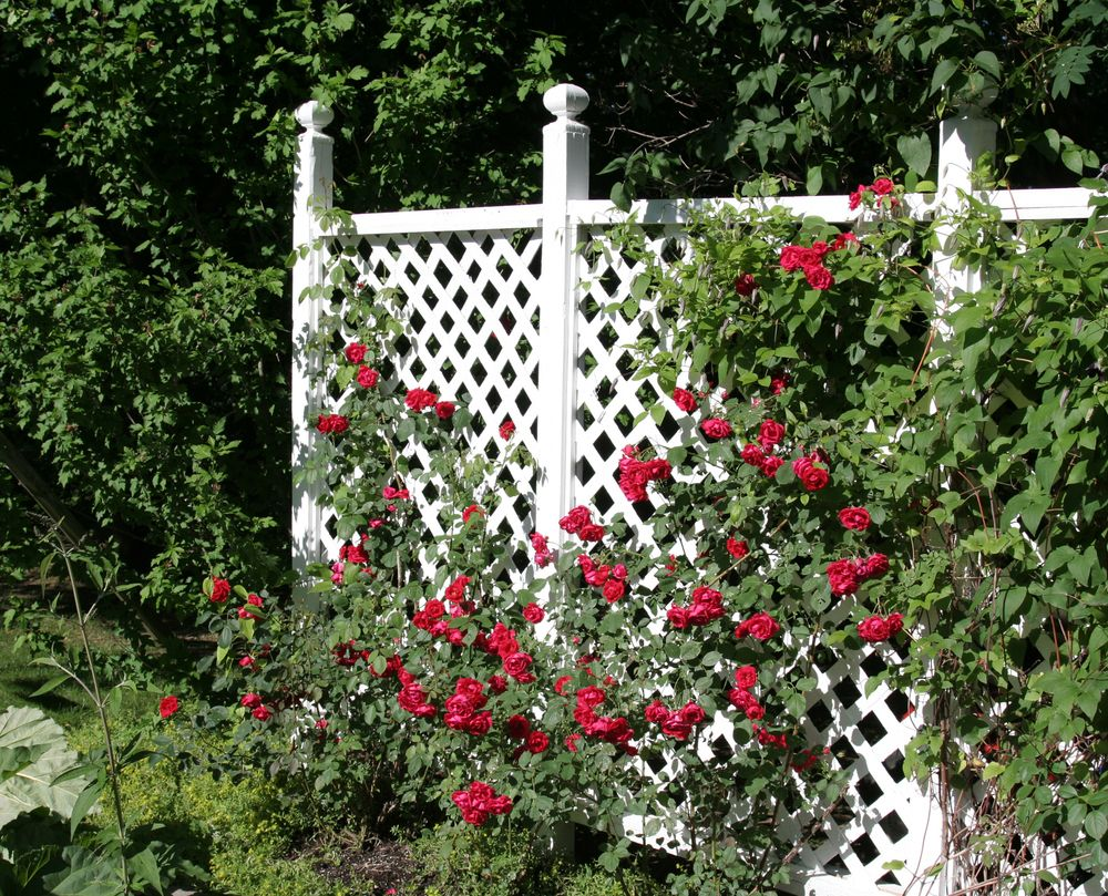 Trellis With Climbing Roses Back Yard Privacy Or Just Ivy No Bees Diy Garden Trellis White Trellis Garden Trellis