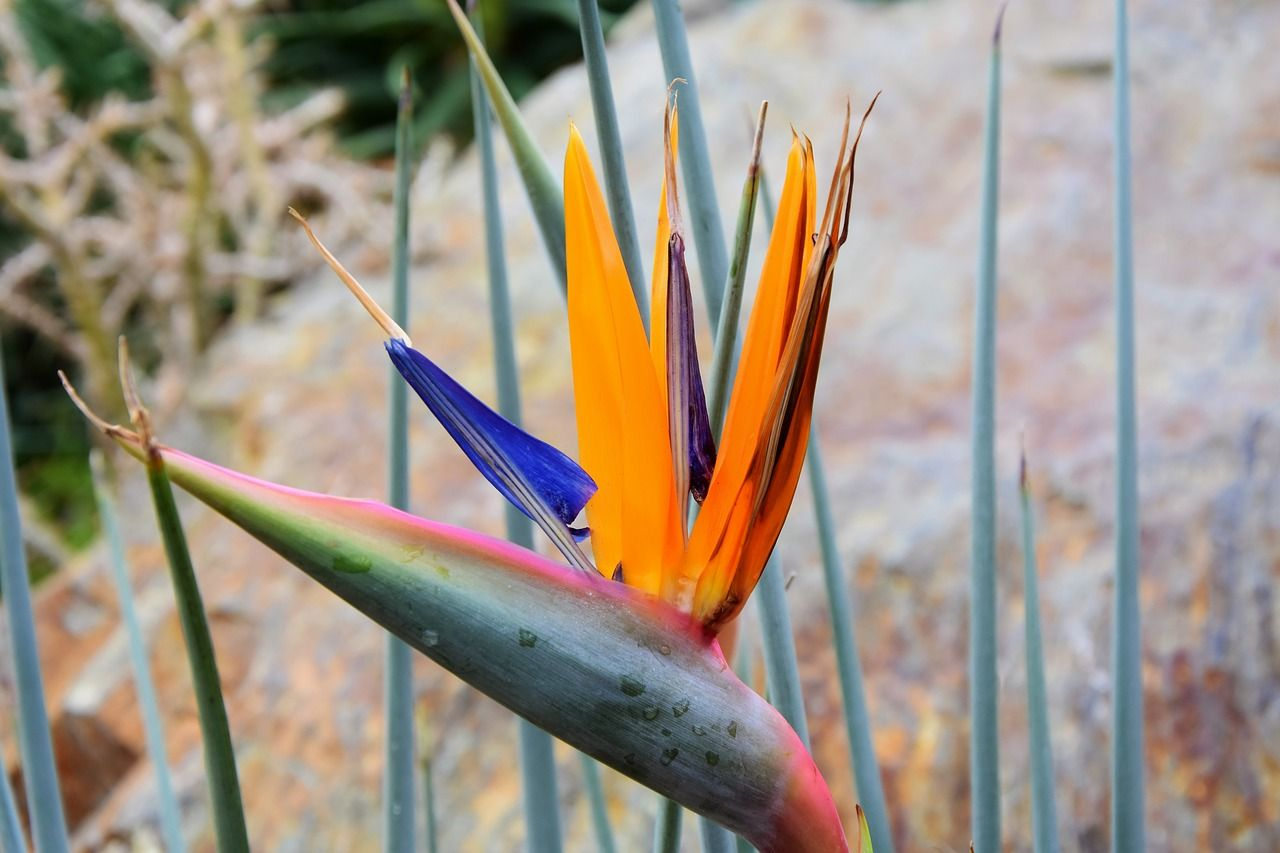Colorful Bird Of Paradise Birds Of Paradise Plant Birds Of Paradise Potting Soil