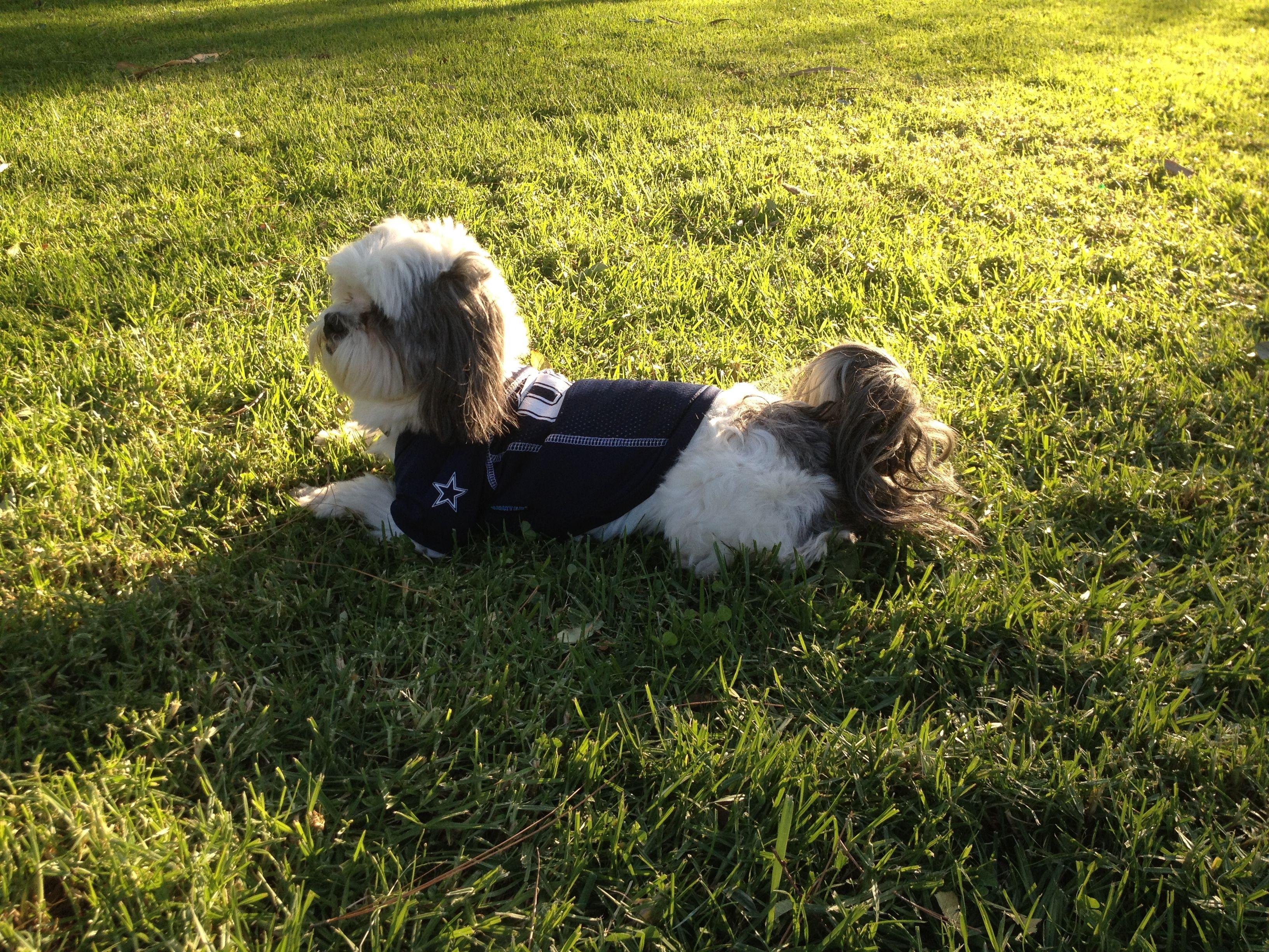 10613 shih tzu animals dogs