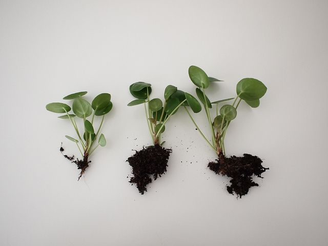 Pilea peperomia pl green and leafys pinterest for Plante pilea