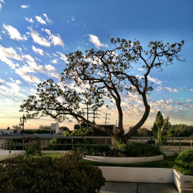 Barrington Plaza tree
