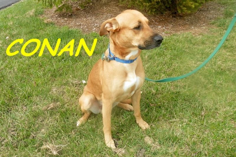 Adopt Conan On Labrador Retriever Dog Labrador Retriever Retriever Dog