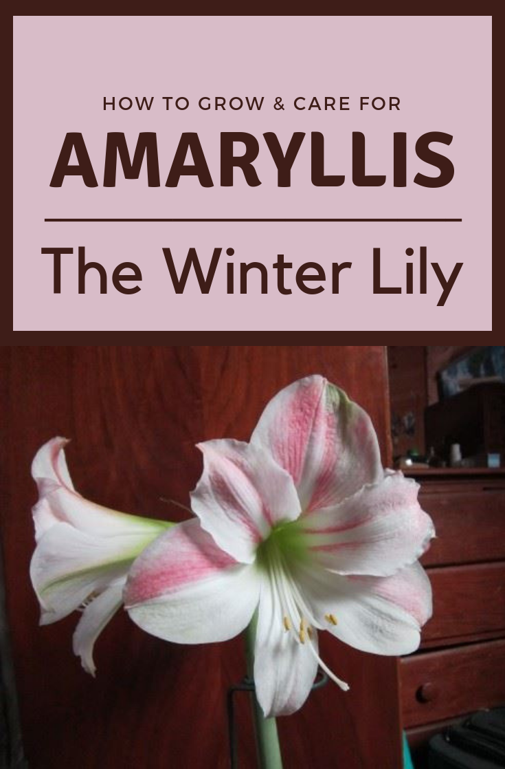 How To Care And Grow For Amaryllis The Winter Lily Amaryllis Lily Winter Amaryllis Amaryllis Care Garden Care