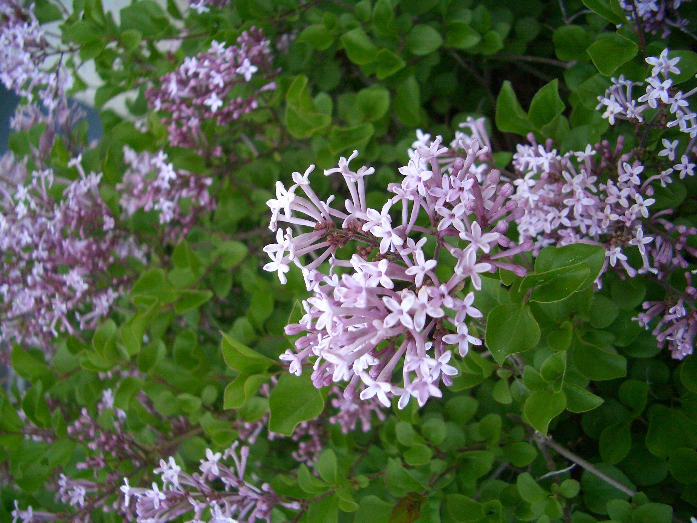 Dwarf Korean Lilac | Plants, Flowers, Lilac