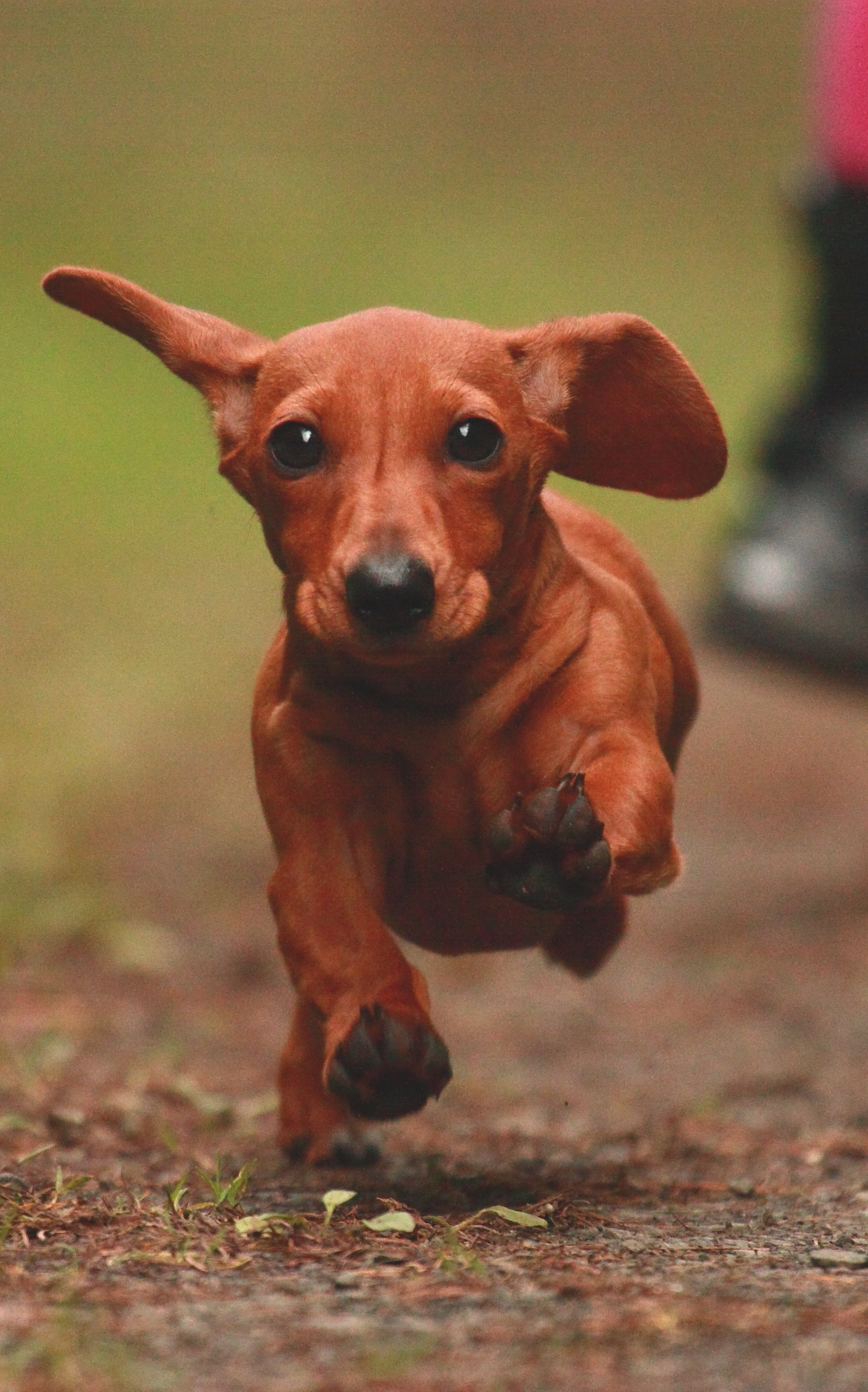 5 Things You Did Not Know About Dachshund Click Now Dachshund