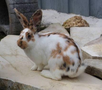 Idee von Erwin Piepersjohnns auf Kaninchen Schecken