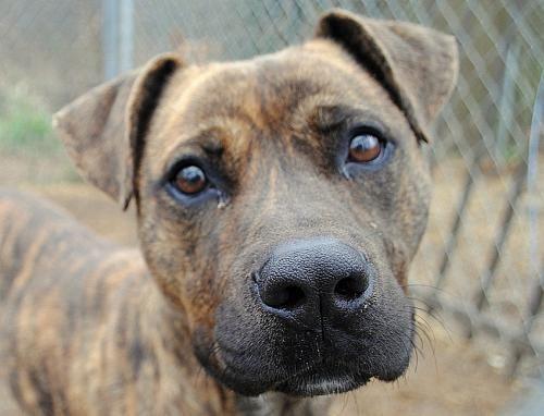 Adopt Little Girl on Pitbull terrier, Pitbulls, Dogs