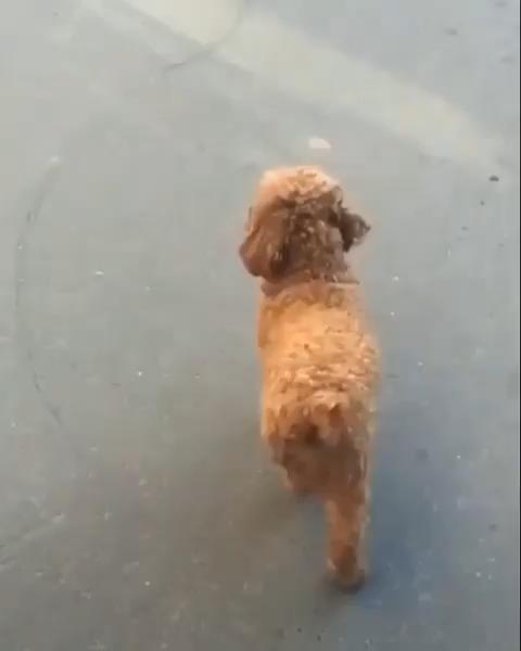 #monkoodog #smartdog #funnydogs #sillydog #babydog #poodle #cutepup #poodles  credit:@wow.cute.dog