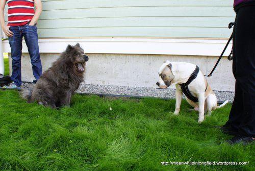 chow chow ja Amerikanbulldoggi