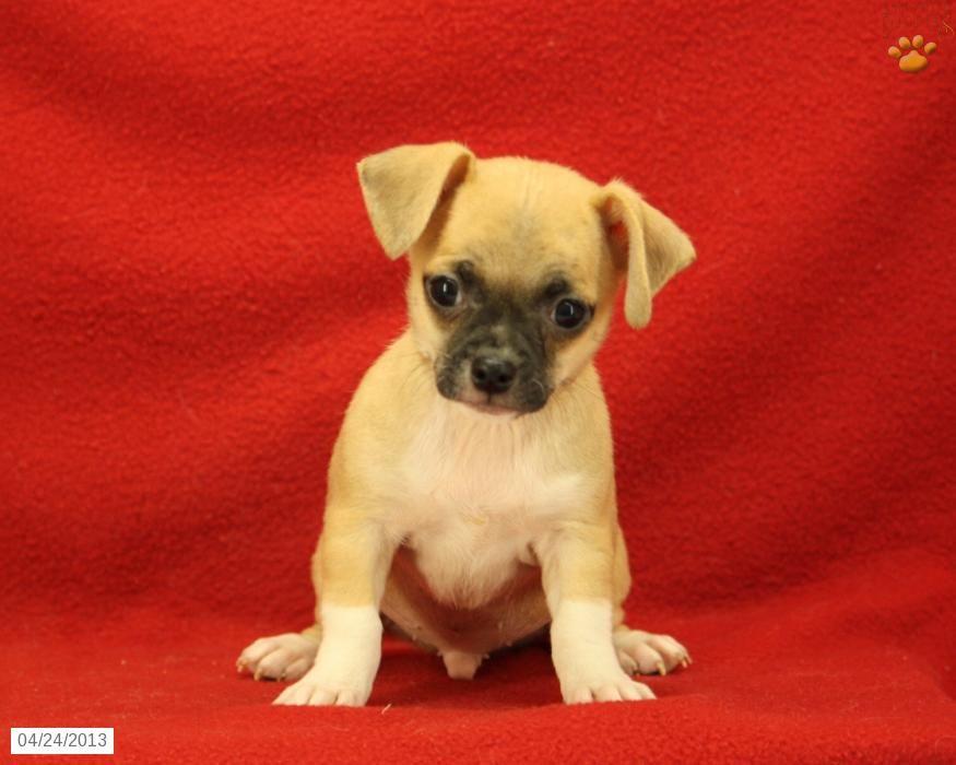 Red Chiwawa Mix Chihuahua Mix Puppies For Sale Chihuahua Mix