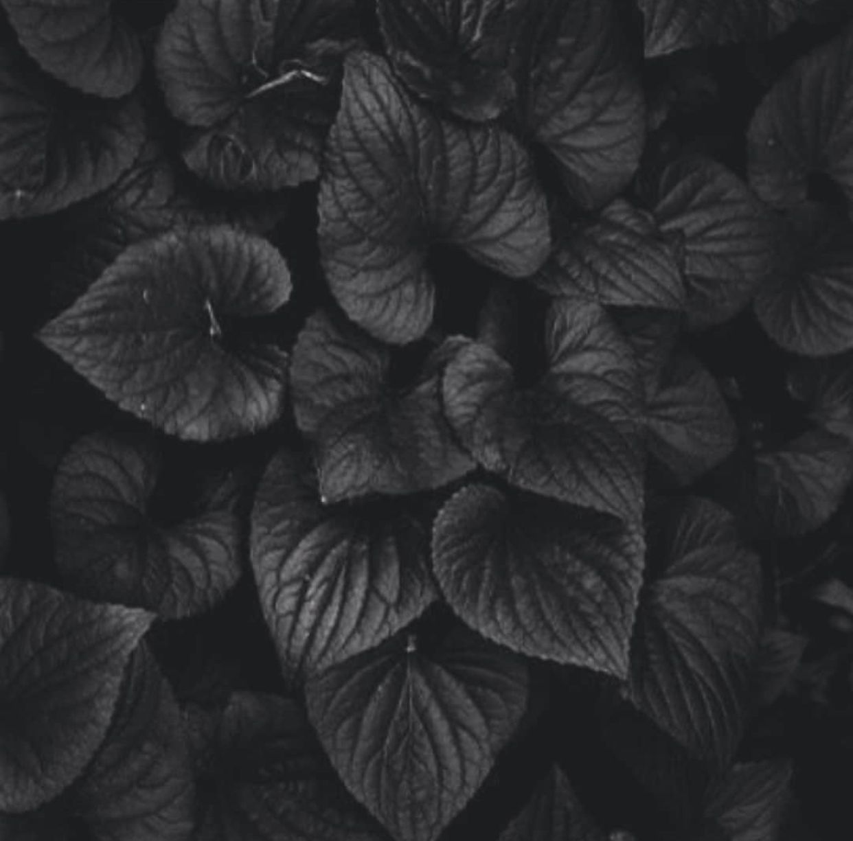 Kpop Themes Black Aesthetic Black And White Aesthetic Black Flowers Aesthetic dark leaf wallpaper