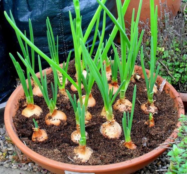 zwiebeln k nnen in t pfen gepflanzt werden und eignen sich f r den balkongarten selbstanbau. Black Bedroom Furniture Sets. Home Design Ideas