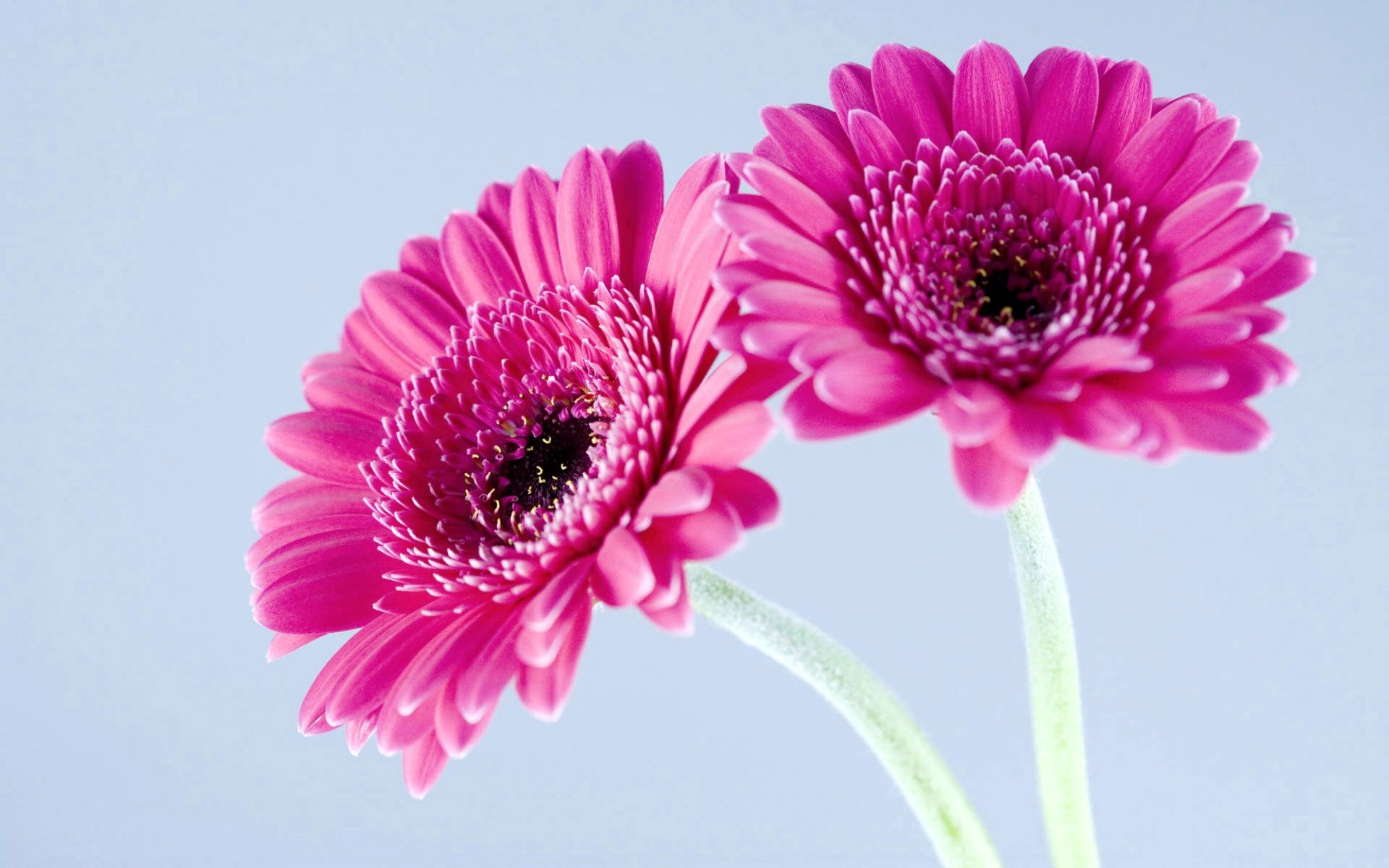 Purplegerberadaisies wideg 19201200 crazy for daisies gerberas available all year round in a vast variety of colours dhlflorist Image collections