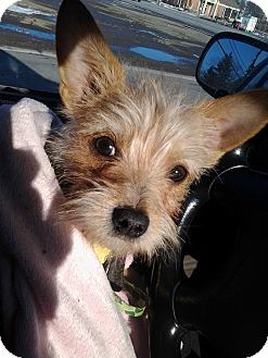 Malta Oh Yorkie Yorkshire Terrier Chihuahua Mix Meet Oliver