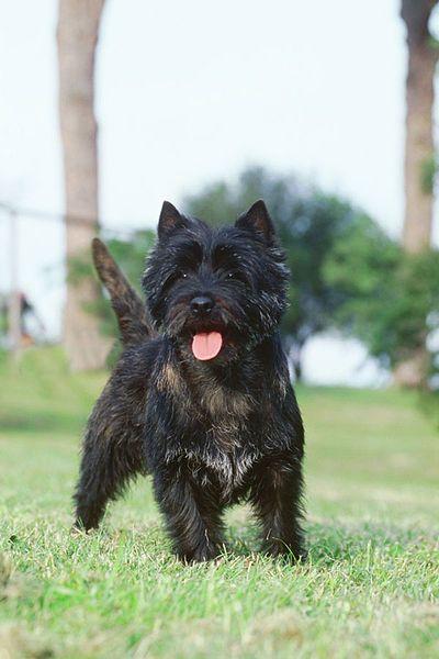 Silver Tip Brindle Cairn Terrier Cairn Terrier Terrier