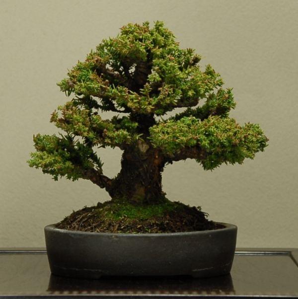 Bonsai Haus 20 stücke japanische zedern semillas bonsais samen baum samen