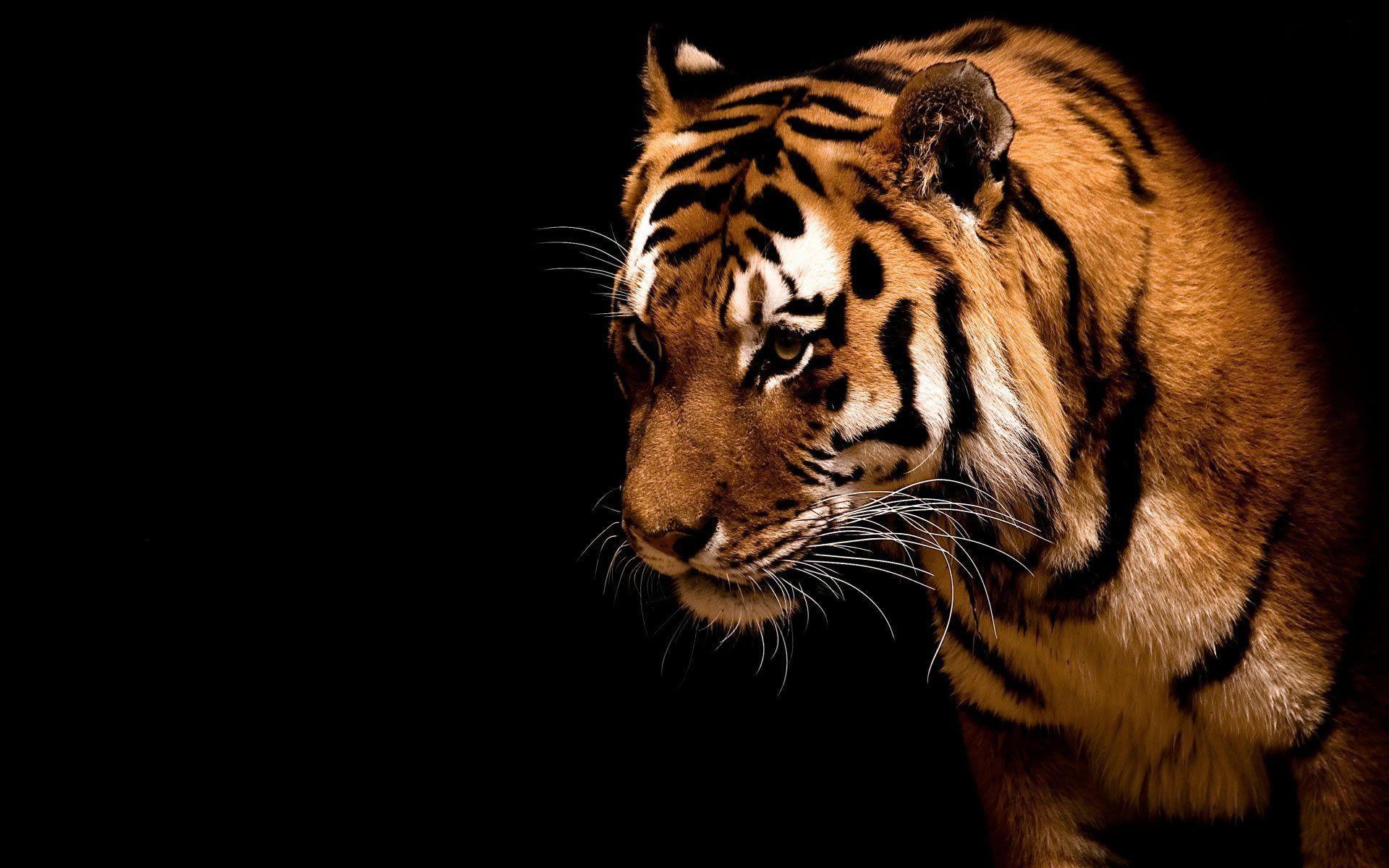 Hd Computer Animal Wallpaper Tiger Hd Desktop Wallpaper Animacao Digital Tudo Sobre Peixes Animais