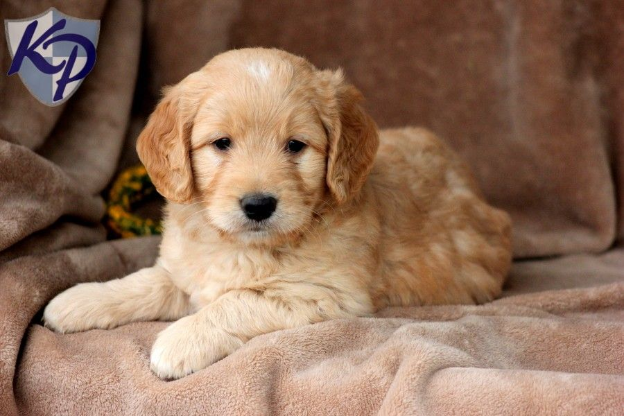 Palmer Miniature Goldendoodle Puppies for Sale in PA