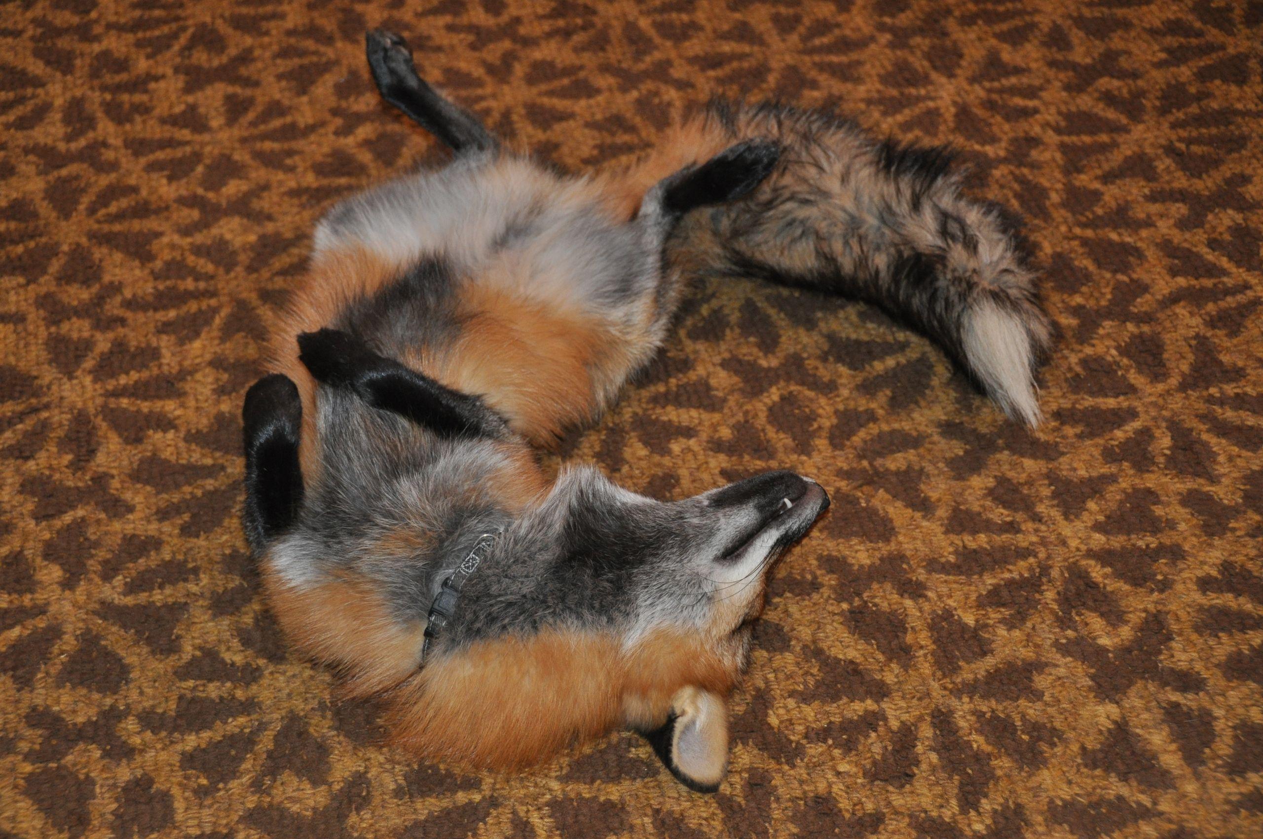 Pet Fox Pet Fox Big Dogs Animals Wild